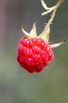 Framboise mûre dans le jardin fruitier. framboises aux baies.