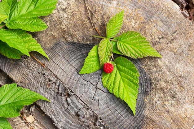 Framboises fraîches sur une souche forestière. framboises mûres rouges et feuilles vertes