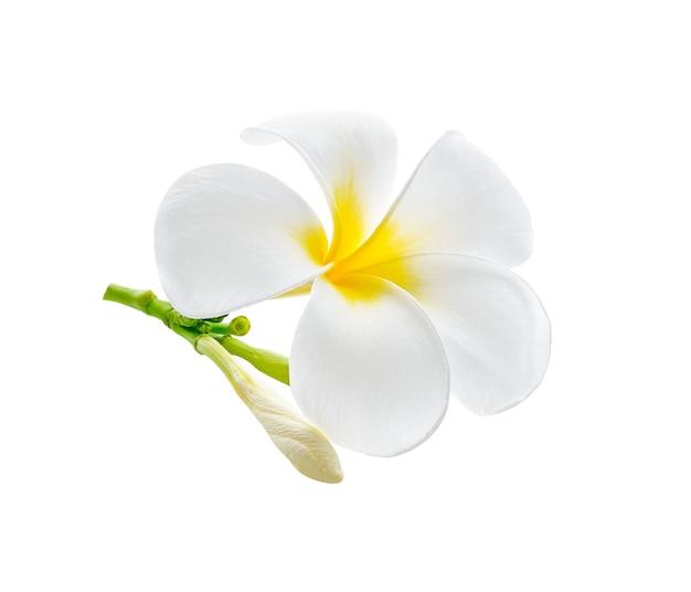 Frangipanier, fleur de frangipanier sur blanc.