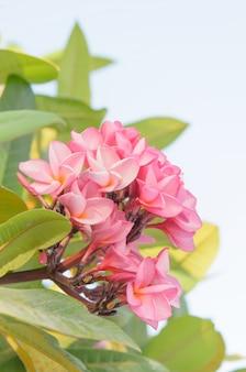 Frangipanier fleurs tropicales