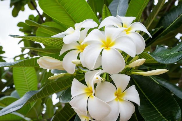 Frangipanier (plumeria) et fleur douce avec fond de feuilles vertes