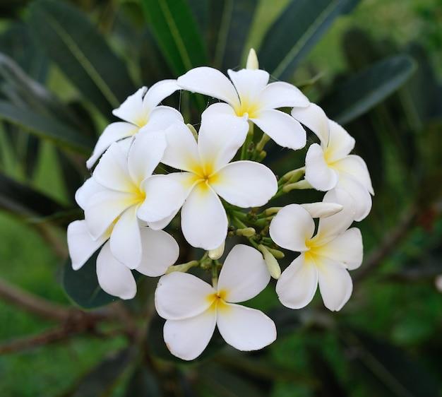 Frangipanier (plumeria) de fleurs tropicales