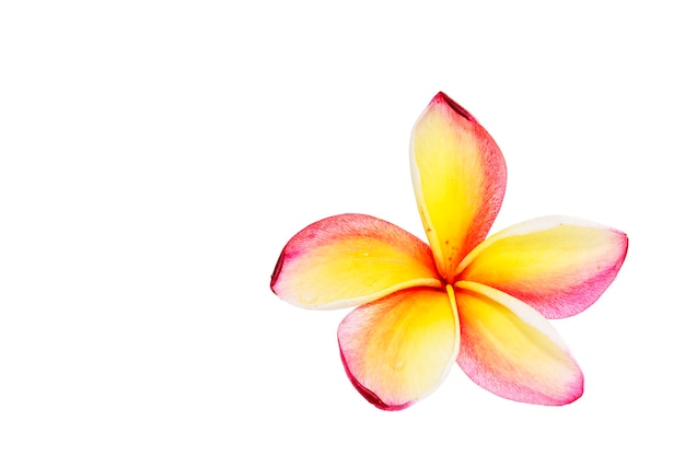 Frangipanier, plumiera, fleur de frangipanni isolé sur blanc