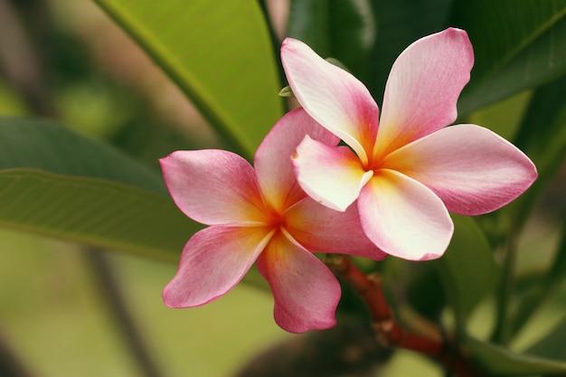 Frangipanier rose fleurs tropicales