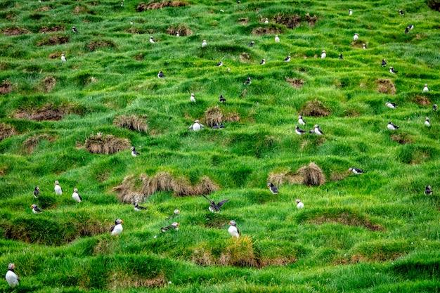 Fratercula arctica à faroe