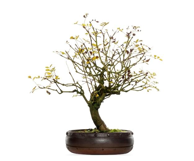 Fraxinus bonsaï, isolé sur blanc