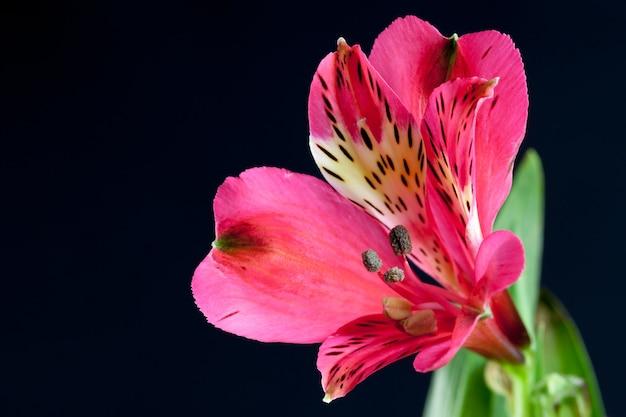 Freesia rouge vif (iridaceae) close-up sur un fond sombre