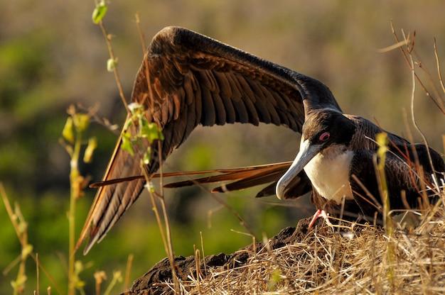 Frégate oiseau assis dans la falaise