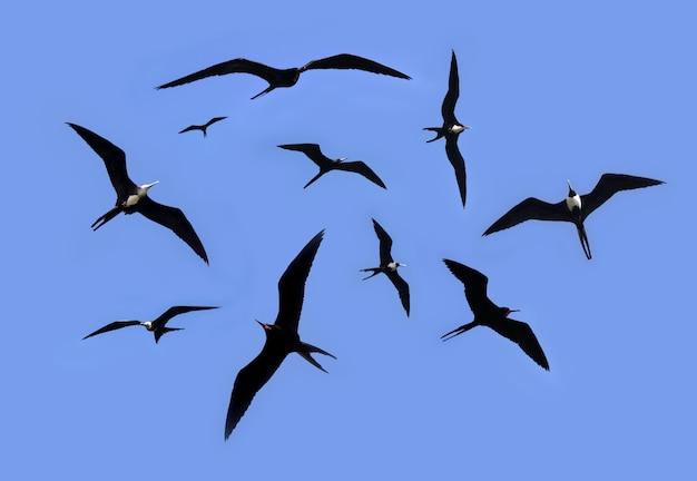 Frégate silhouette silhouette rétroéclairage saison de reproduction