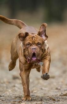 French mastiff court dans le parc d'automne. image drôle.