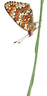Fritillaire de centaurée - melitaea phoebe, papillon isolé sur blanc