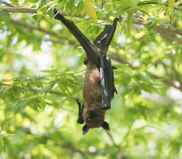 Fruit batflying fox accroché sur un palmier
