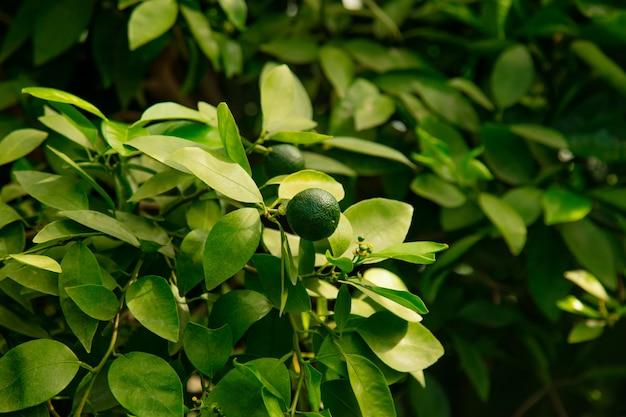 Fruit de citron vert sur un arbre dans la serre