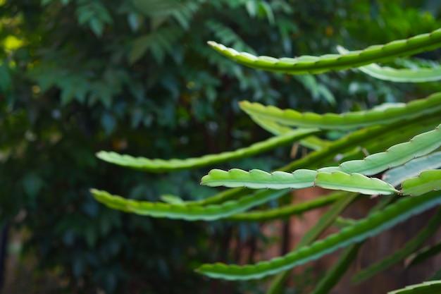 Fruit du dragon ou pitahaya hylocereus undatus sur une branche d'arbre de fond nature floue