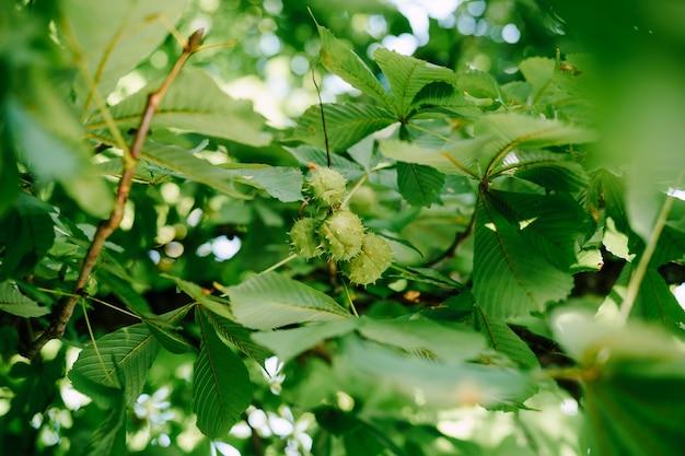 Le fruit du marronnier d'inde sur les branches de l'arbre des boîtes en forme de boule avec des pointes