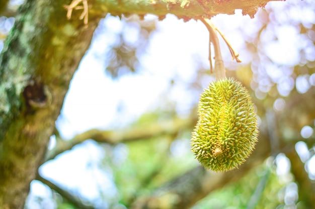 Le fruit du volcan durian est frais sur l'arbre est une plante utile avec la lumière du soleil, dans le kantharalak sisaket en thaïlande