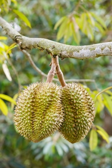 Fruit de durian sur l'arbre