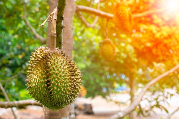 Fruit de durians sur l'arbre de durian dans un verger de durian biologique.