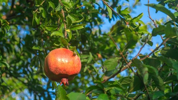 Fruit de grenade dans le jardin