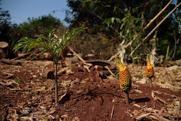 Fruit jaune et vert et orange dans un sol rouge sur fond de nature forêt