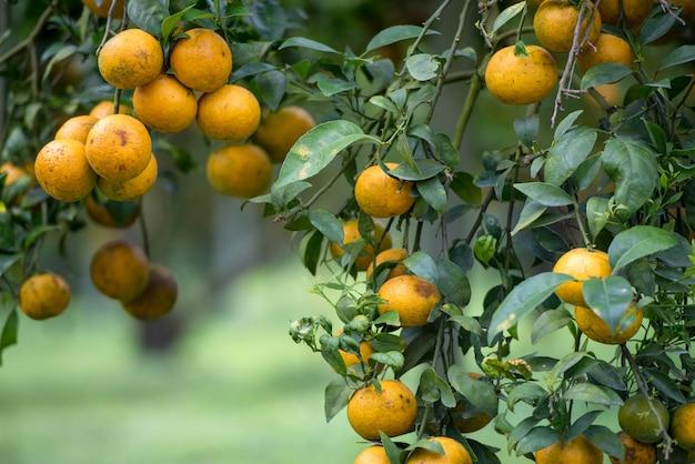 Fruit de mandarine jaune sur l'arbre.
