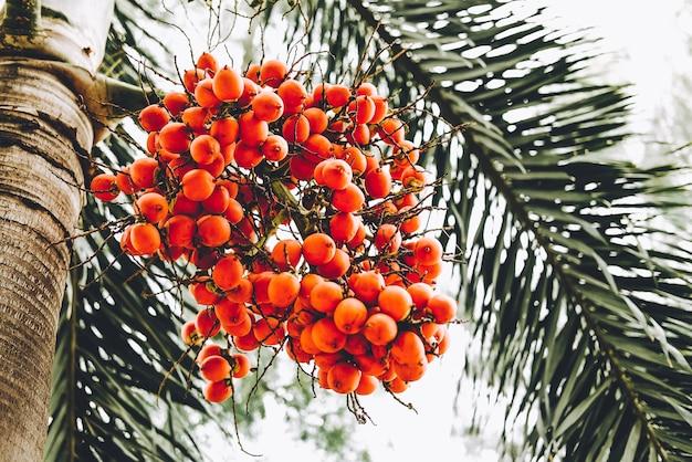 Fruit mûr avec la couleur rouge ou orange du palmier noir (normanbya normanbyi) sur l'arbre.