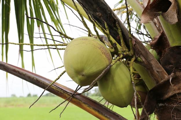 Fruit de noix de coco sur un cocotier dans le jardin en thaïlande.