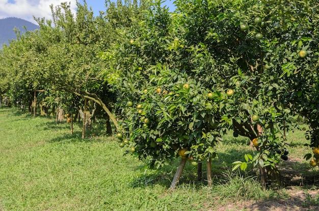 Fruit d'orange sur son arbre dans le jardin