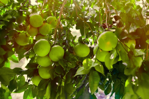 Fruit de pamplemousse immatures sur des branches d'arbres au coucher du soleil.