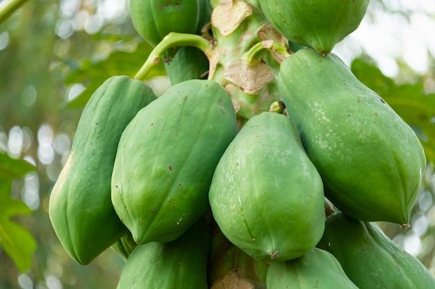 Le fruit de la papaye non mûre a une couleur verte sur l'arbre.