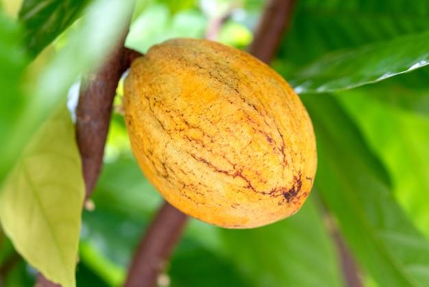 Fruit de la plante de cacao