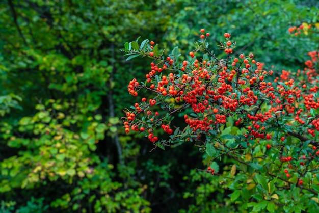 Fruit de pyracantha sur une branche