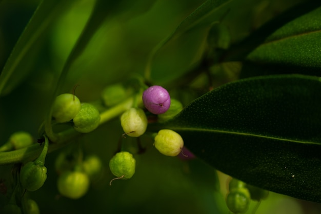 Fruit violet au milieu d'une mer de vert. photo de petits fruits sur une branche