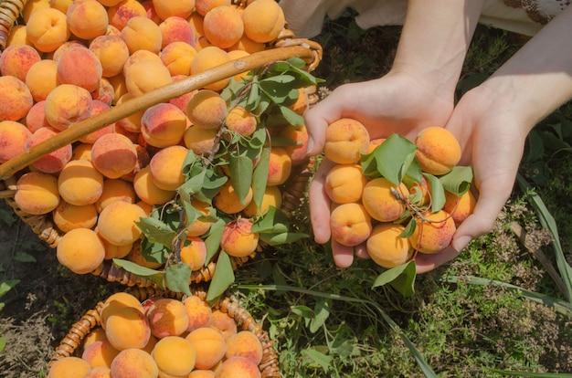 Fruits d'abricot fraîchement cueillis. abricots dans le panier