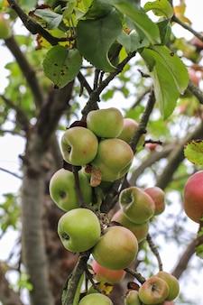 Fruits d'automne accroché à une branche d'arbre dans le jardin.