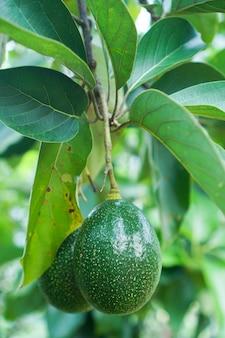 Fruits d'avocats verts accrochés à la branche d'arbre.