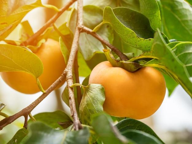 Fruits bio kaki