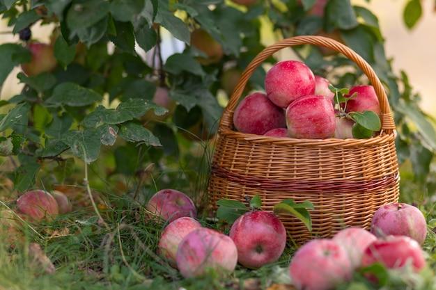Fruits biologiques mûrs dans le jardin