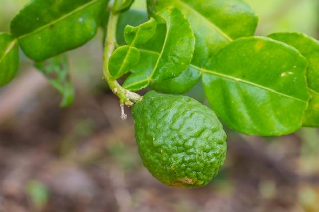 Fruits de citron vert ou bergamote sur l'arbre