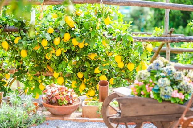 Fruits dans le jardin de citron de la côte amalfitaine le jour d'été