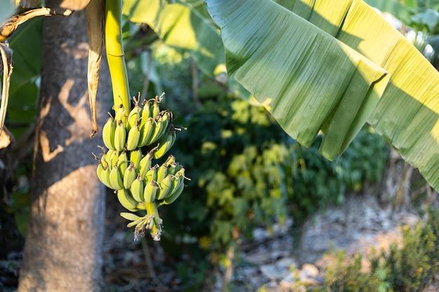 Fruits d'été de bananes vertes avec un tas sur le bananier dans une forêt tropicale humide le jardin en thaïlande.
