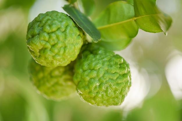 Fruits frais de bergamote sur arbre