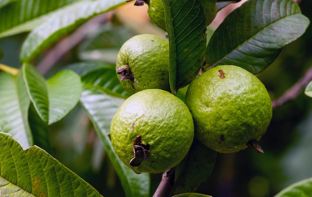 Fruits de goyave jeunes et frais sur l'arbre