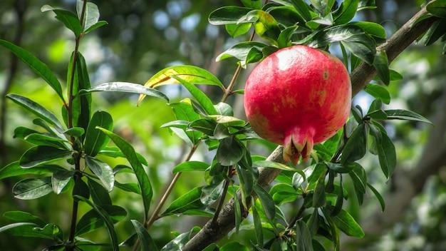 Fruits de grenade mûrs sur une branche d'arbre