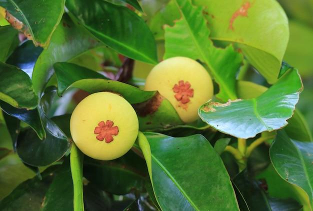 Fruits de mangoustan non mûrs sur l'arbre en thaïlande