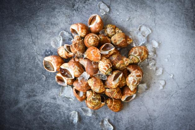 Fruits de mer babylonia areolata coquillages sur glace prêts à manger ou cuits. patelle de coquille de mer babylon tacheté