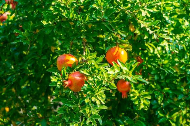 Fruits mûrs de grenade sur une branche d'arbre. nature, nourriture
