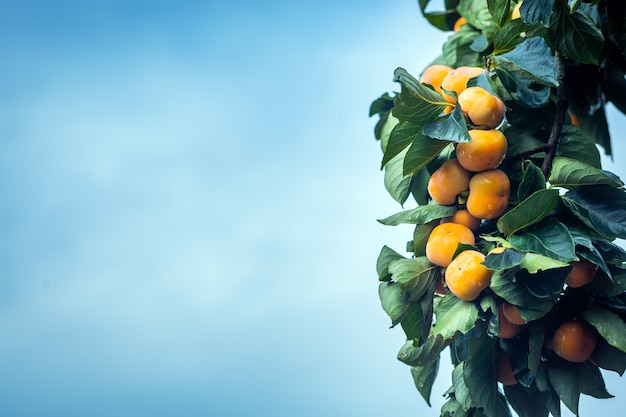 Fruits mûrs de kakis suspendus sur une branche de kaki dans le ciel bleu