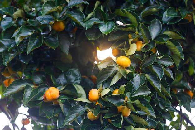 Fruits mûrs de kakis suspendus à une branche de kaki