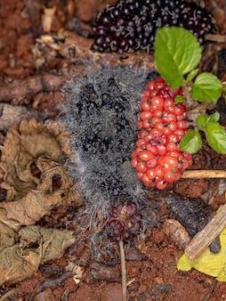 Fruits mûrs de mûrier tombés au sol dans un état de décomposition fongique